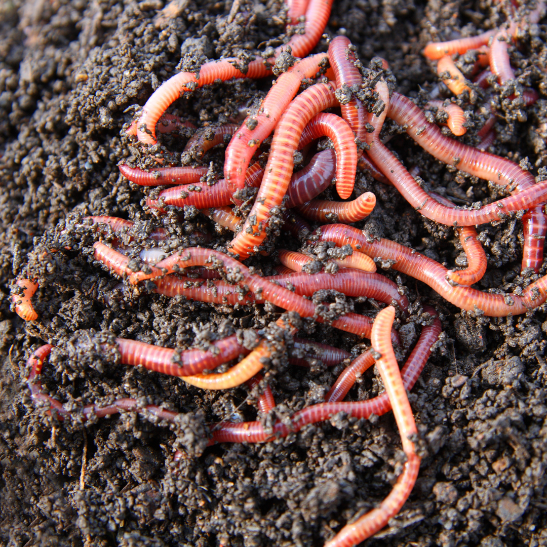 Worms in compost bin